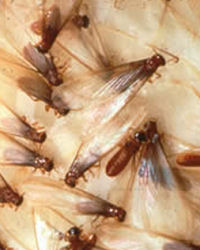 how to kill swarming termites